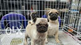 PUG Puppies For 500$