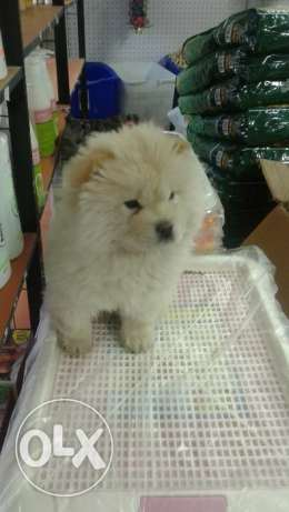 dog for sale chowchow , female two month , vaccinated , white color