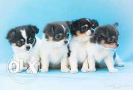 Champion Line Long-Haired Chihuahua males and females