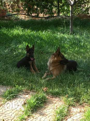 German shepherd . Berger allemand. الكورة -  4