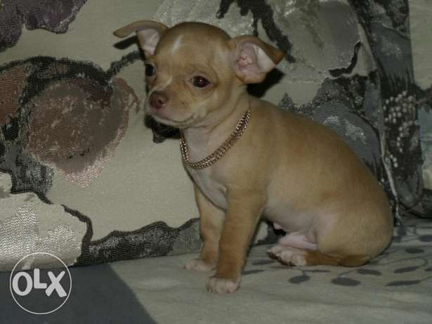Imported Chihuahua male