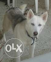 husky female pure. friendly