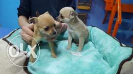 Teacup chiwawa puppies