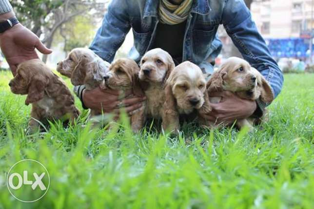 best imported cocker puppies