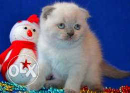 Blue point Scottish fold