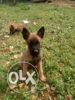 Pure malinois puppies