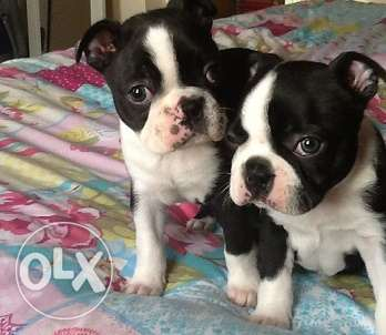 Boston Terriers for sale