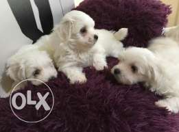Puppies bichon