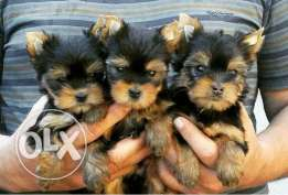 teacup yorky only for 550$