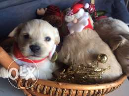 Loulou Spitz Puppies Ideal Gift for Christmas