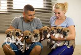 AKITA INU puppies for sale from international breeding !!!