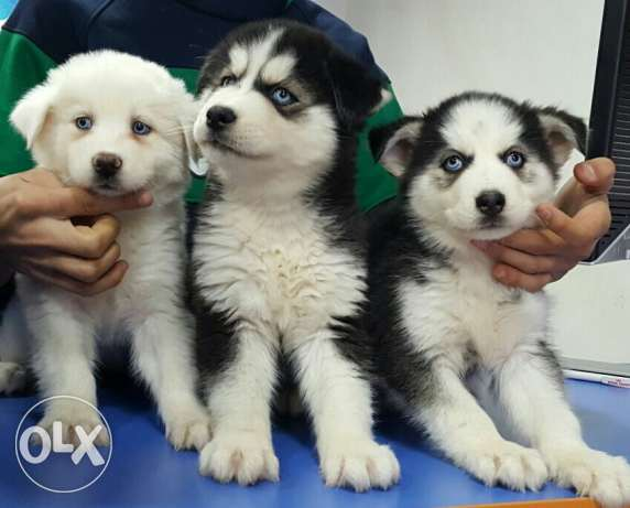 Puppies husky seberian