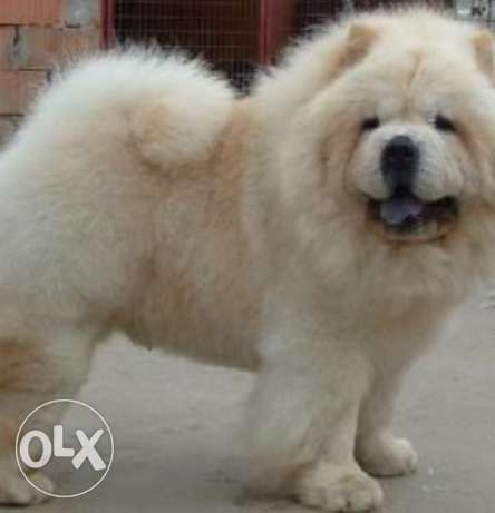 male chowchow