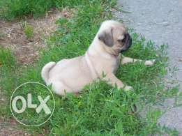 Cute pug puppies for sell
