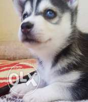 male husky puppy