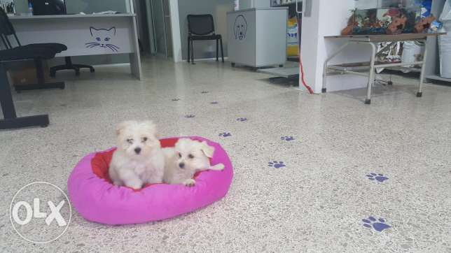 Bichon puppies female 2 months .vaccinated for sale