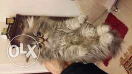 Persian flat face kittens for sale