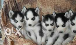 Siberian husky 57 days old . Vaccinated
