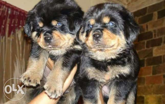 Imported rottweiler puppies for sale only