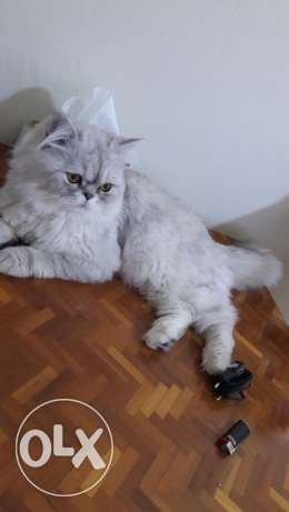 cat Persian for sale