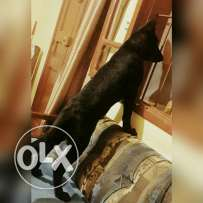 Germanshepherd full black  showline from Bulgaria 4 month with his house