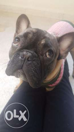 Looking for a female french bulldog to mate