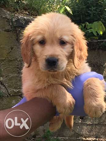 the top brown golden retriever puppies dor sale
