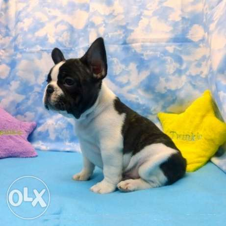 Male French bulldog pure breed very friendly