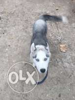 female Husky for sale 400$ vaccinated
