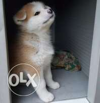 japanese akita inu for only 700$