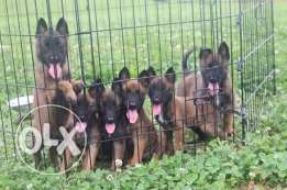 Super Malinoi Puppies
