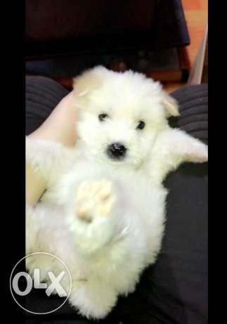 very cute bichon puppies white gold caramel colors )