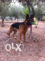 german shepherd 10 month old for sale