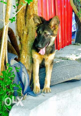 german shepherd / ceaser