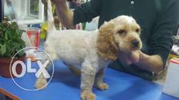Coocker spaniel male
