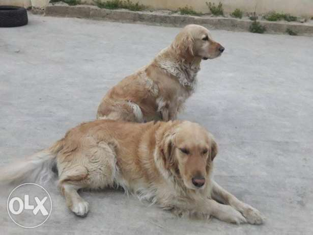 Pure Golden retriever male and female for sale, 300$ both