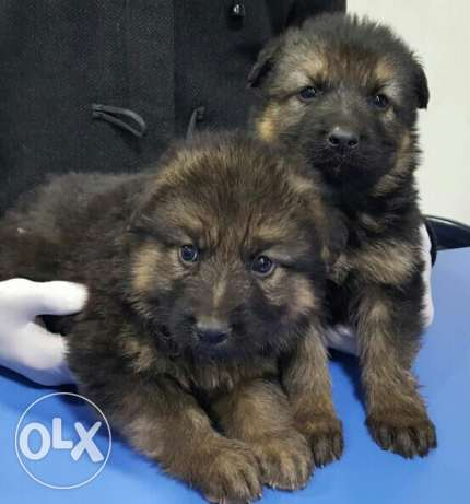 Puppies german shepherd المرفأ -  1