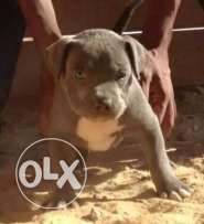 Blue imported pitbull puppies