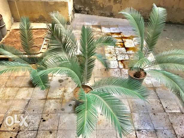 Cycas plants for sale