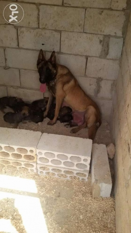 malinois pappies for sale