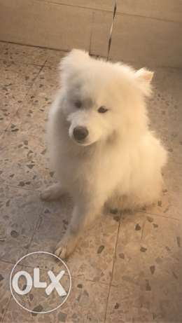 samoyed puppy 5 months old
