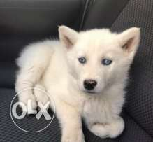 husky 2 month full white blue eyes dewormed