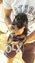 German shepherd puppys for sale