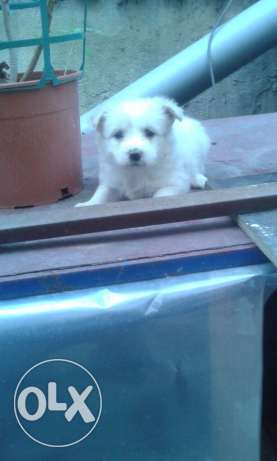 White Bichon puppies for sale ! ضبيه -  6