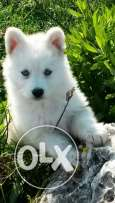 White Siberian husky loung hair blue eyes 2 month old special price