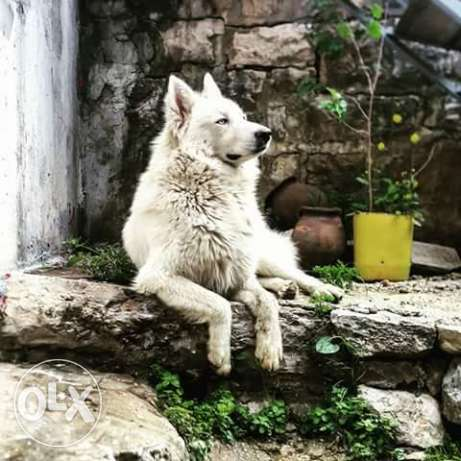 dog for sale husky king size.male 3 years ma3 daftaro 700$