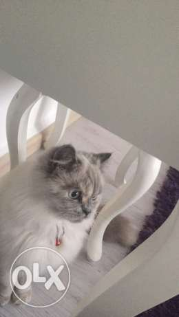 Himalayan female cat for breeding (male needed)