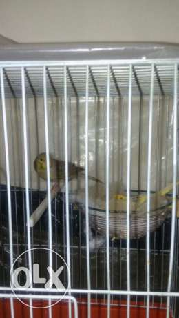 canary for sale