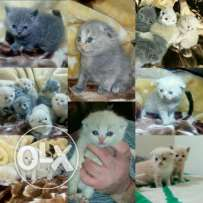 Scottish fold one month