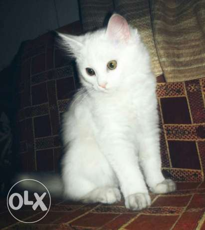 French persian-angora white cat